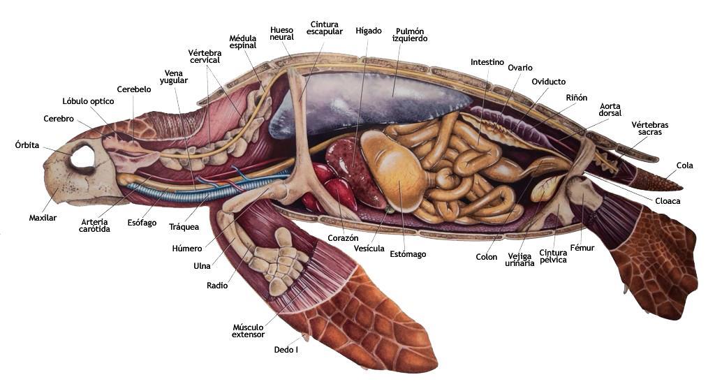Anatomía De Una Tortuga - SoftwareMac