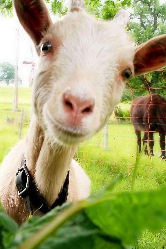 Картинки про коз смешные