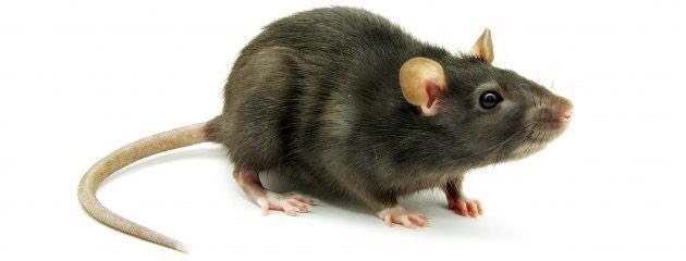 Rats Of New York (@RatsOfNY) | Twitter