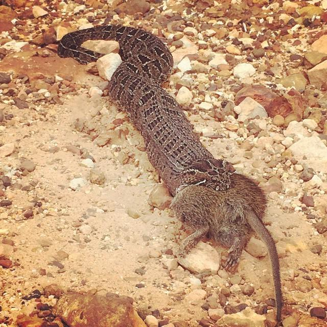 This puff adder is going #Paleo breakfast on the #XTERRAGrabouw run course. #Caveman #snakeeatingrat http://t.co/SY1fWjZwR6