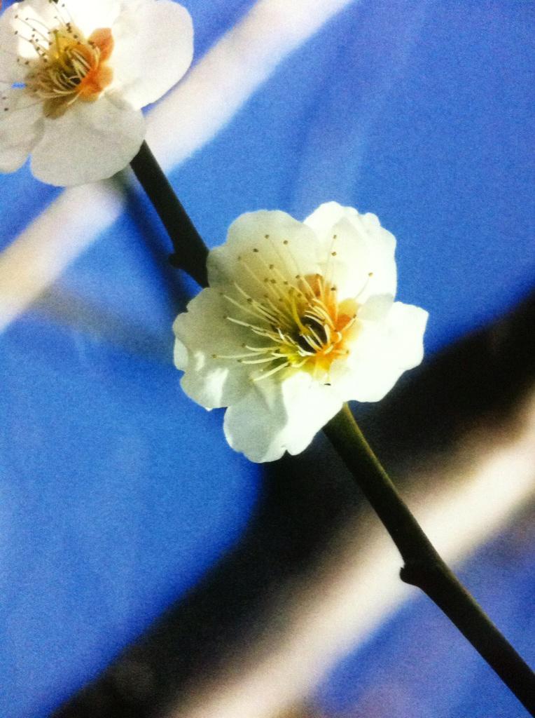 紅梅と白梅…もう少し暖かくなれば…戸山公園 http://t.co/xESEkwjgrH