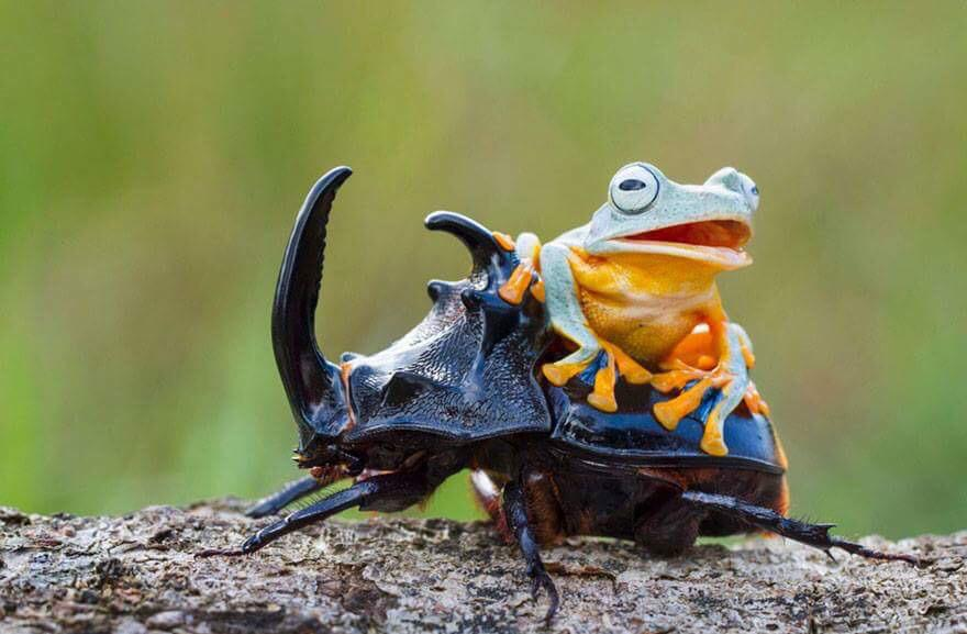 85605a2f Happy Friday everyone, here's a frog riding a beetle! A FROG. RIDING A  BEETLE.pic.twitter.com/McoRUDRFDj