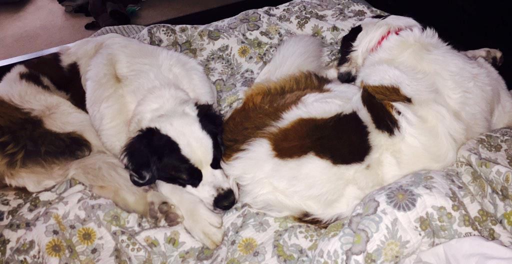 220+ lbs of St. Bernard taking up the bed this morning. Great idea @Lieseybiese