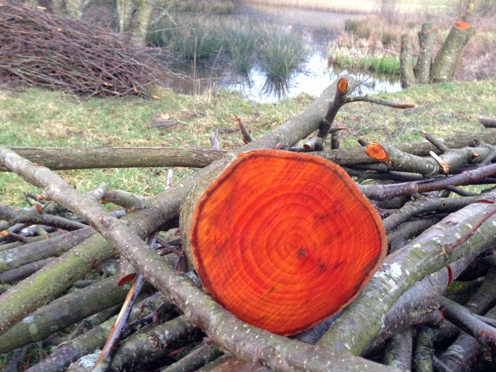Cut alder looking striking this evening! Cor! #lovetrees http://t.co/pvRwMGXaw5