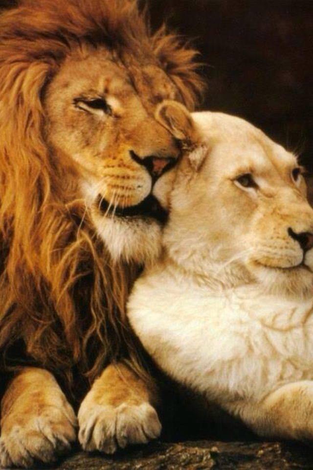 Картинки с львицами со словами