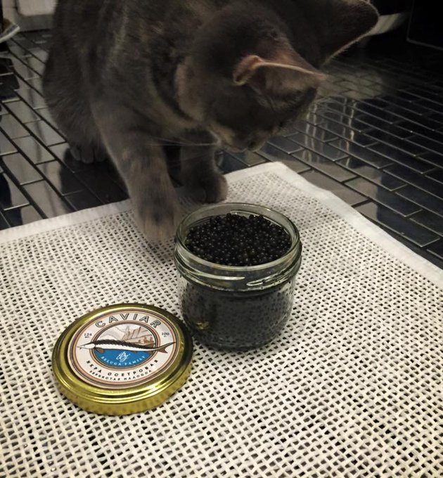 Коты черную икру