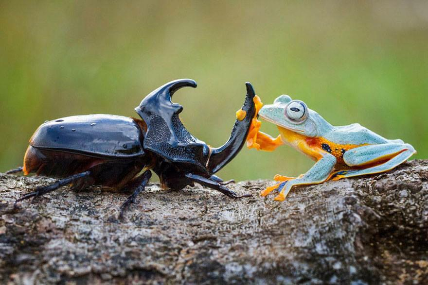 For anyone feeling a bit down this morning... Here is a frog riding a beetle. He is dead chuffed about it... http://t.co/dr4AKGWbaL