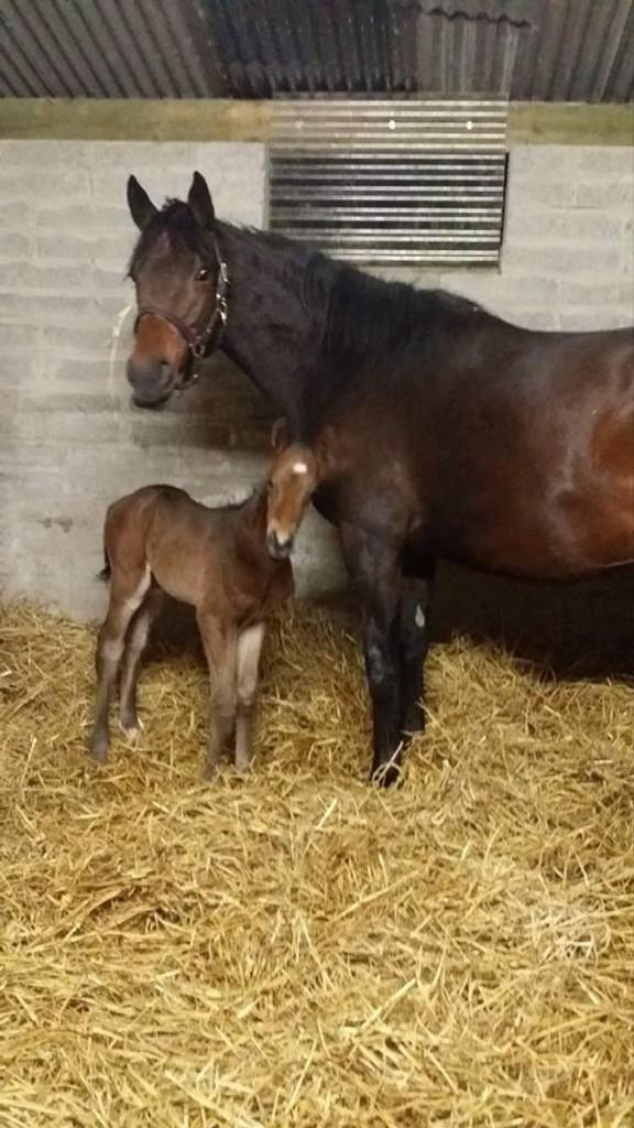 Welcome to the world! Zalanga (by Azamour) gave birth to a bouncy filly this afternoon, by @RathaskerStud's Clodovil. http://t.co/RpRQ5BHkdR