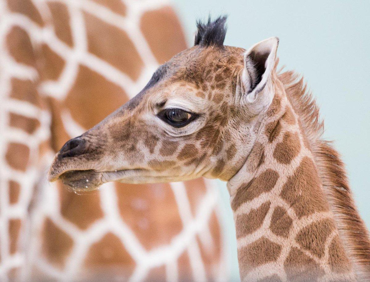 In Africa non si ferma la strage di giraffe