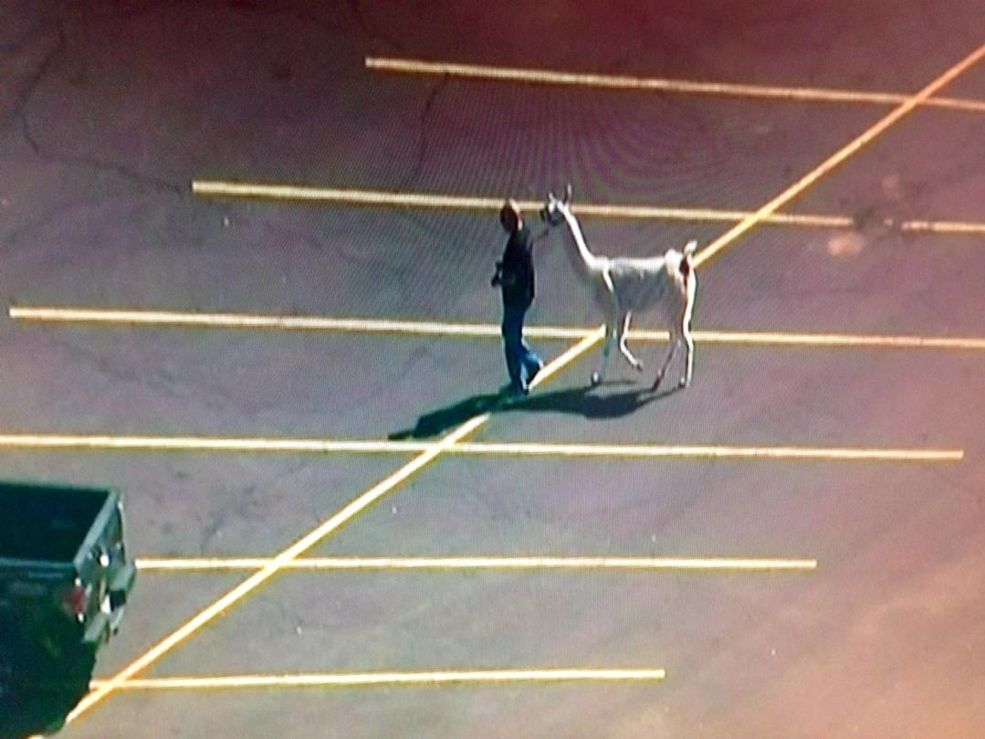 Just finished watching along w/ the nation as Arizona man's llamas were lasso'd and peace was restored in #SunCity. http://t.co/8fVU6GiR7E