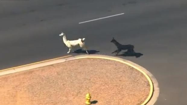 Raise the a-llama! us police chase freedom-loving llamas across