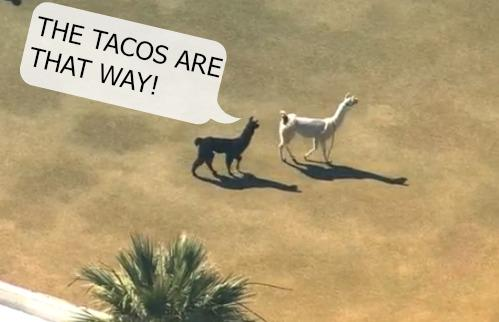 Nothing could stop their quest to tacos. #nothing #llamadrama http://t.co/xOmRcYPRuE