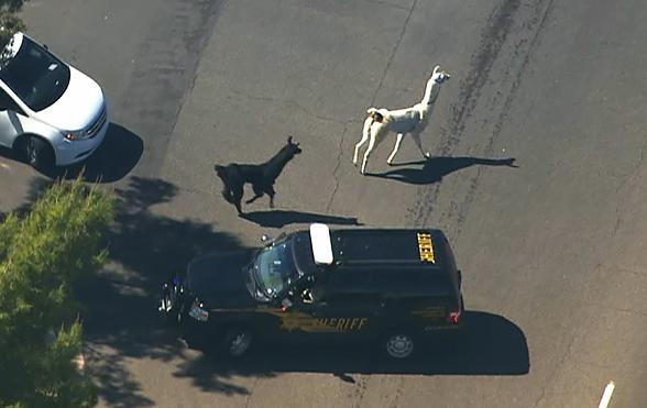 Outlaws of the Day: Two #Llamas Slow Down Workplace Productivity with Epic Police Chase http://t.co/dJlYA3duzO http://t.co/rb5welHEfz