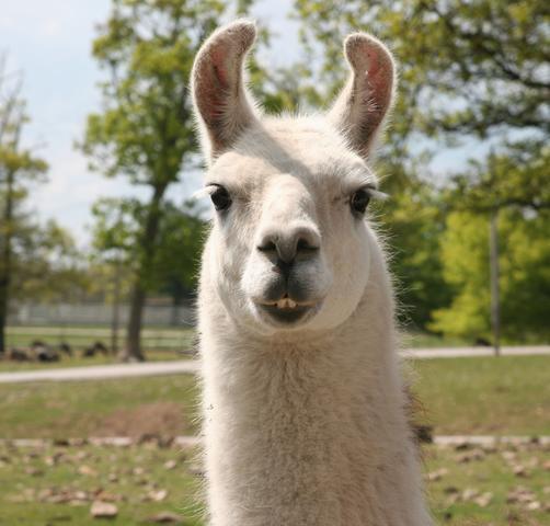 "dylan on Twitter: ""llama chameleon http://t.co/qNahmWeJK6"" Llamas The Animal"