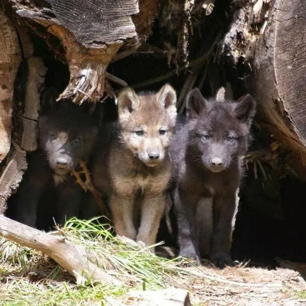 #WolfWednesday Tell Governors to Ban the Trapping of Gray Wolves http://t.co/FqJqIvTOks http://t.co/w3HFw5HsMF via @AAllen69