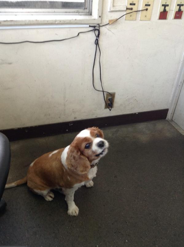 迷い犬。拾いました。いま、交番なんですが、杉並区善福寺三丁目の8付近であいました。どなたか情報ご存知でしたら連絡お願いします。犬種がわかりません!それもどなたか教えて頂けますか? http://t.co/ut2SmyxS25
