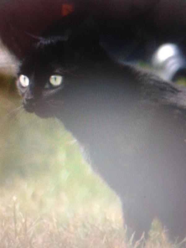 My gorgeous black rescue beauty #BlackCatSelfie  milo moo http://t.co/pYfulVyTrC