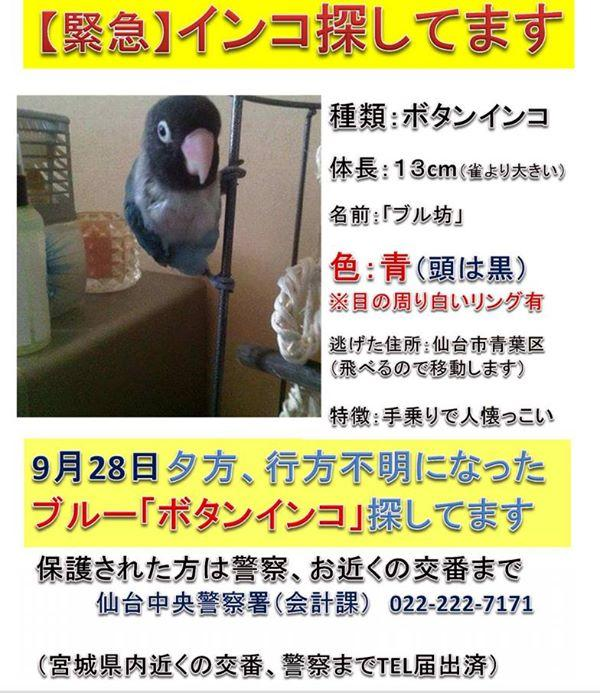 【東北広域:拡散願います!】 9/28 闘病中の友人が青葉区五橋でボタンインコを誤って逃してしまいました。諦めずに再会を待ち望んでいます。頭:黒 羽:ブルー:保護にご協力をお願いします!! http://t.co/PNar12AAd5