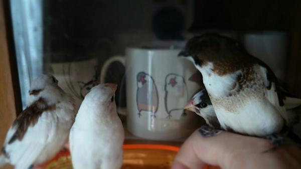 文鳥マグカップに熱い視線を送る、十姉妹の皆さん。 http://t.co/ZuRM8YXD7P