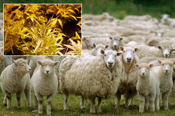 Cannabis-munching sheep left high as a kite after eating through £4,000 worth of drugs http://t.co/KMPTuukaHY http://t.co/o3VgJuskza