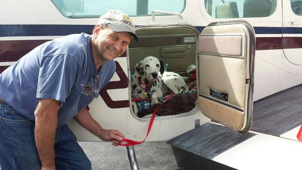 Dash - a darling little Dalmatian flying with PNP pilot Paul to his new home in MN http://t.co/6ghRej89YV