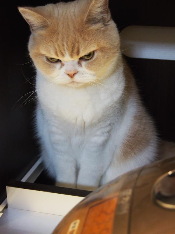 炊飯器の横でごはん炊けるの待ってる風。真剣なまなざし、そして水を飲んだ後のしずくつけたまま #猫の小雪 pic.twitter.com/NrZI8UUAzm