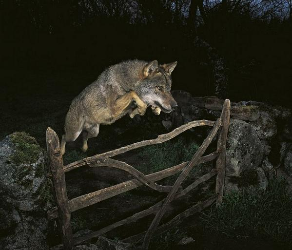 Wolf Jumping Over Fence   Found at http://t.co/nH9JaCdifg http://t.co/OLqq78zvM7