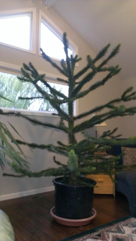 My newest house plant. Monkey Puzzle tree #plantchat http://t.co/MqfFBzWQU9