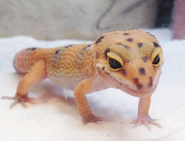 petco on twitter didyouknow leopard geckos shake their tails when