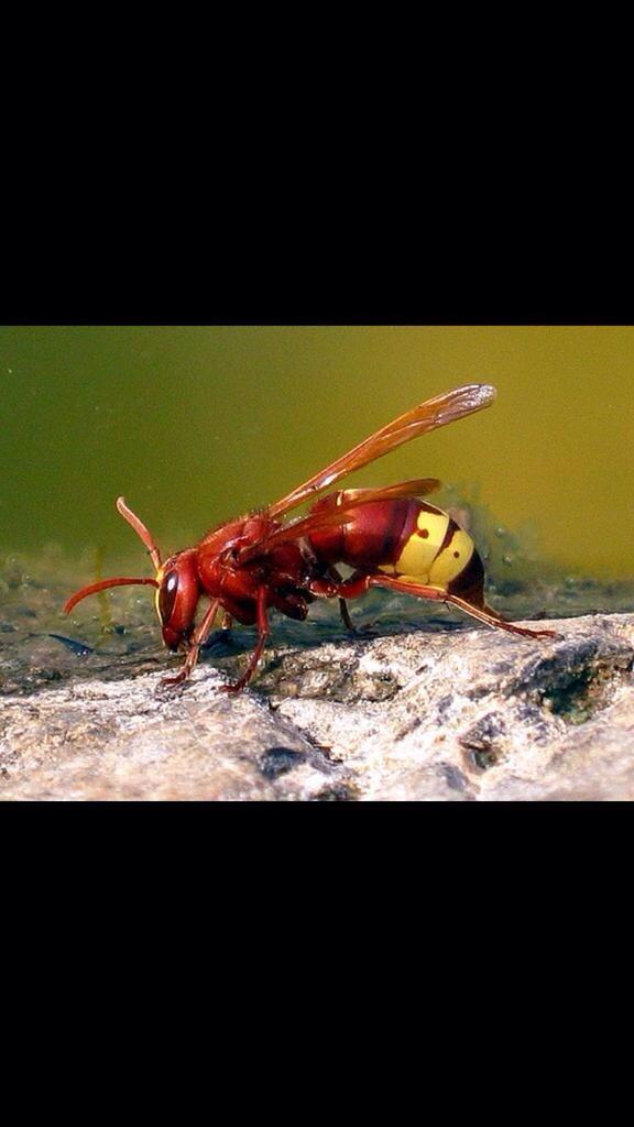 オリエントスズメバチ(学名:Vespa orientalis)は腹部にソーラーセルがあり太陽光発電が…