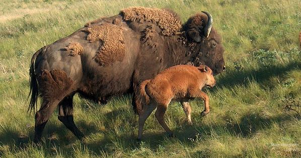 Thank you @GovernorBullock for bringing wild bison back to tribal lands! http://t.co/JGdhr4etBm http://t.co/ywSQlSh4hV