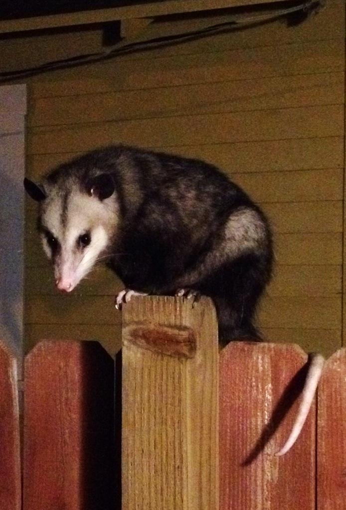 RT @TracyMelhorn: @PerezHilton this opossum was on my fence just starring at me last night 😱 http://t.co/o8D1PvTK2H