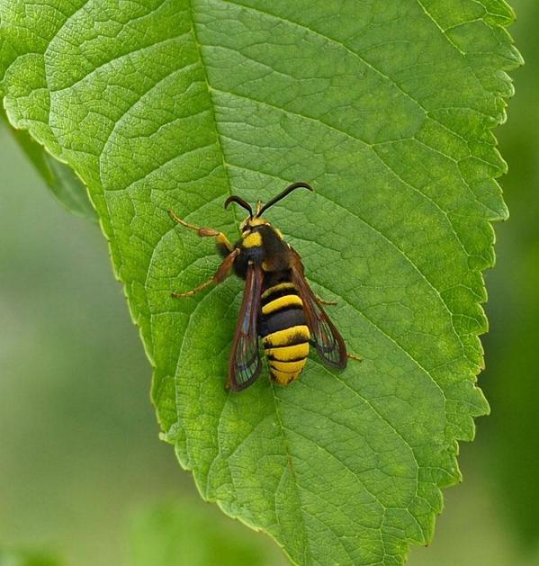 蛾の擬態は感動を覚える。どう過程を経て進化するのか。蜂に食われていった兄弟の事を想いさなぎの中で憎しみを育て、俺には顎も針も無い…力が…奴を狩る力が欲しい…その為なら俺は…憎い奴の姿にもなろう!バリバリー!みたいに進化するのだろうか。 http://t.co/FuygaeCiQb