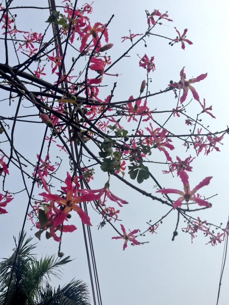 Kanika Gahlaut On Twitter Name Of This Tree With Pink Flowers That