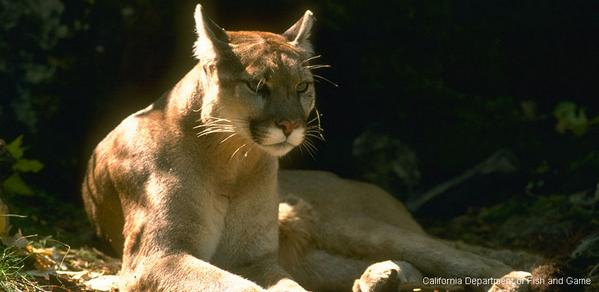 Happy National Cat Day! Take action today for these big cats in California: http://t.co/V4qPo2l7ZG #SaveLACougars http://t.co/5G7sKzmGlo