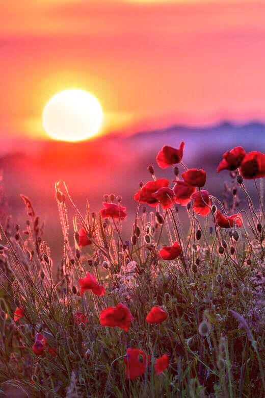 Poppies http://t.co/XzDm6Ihsmv