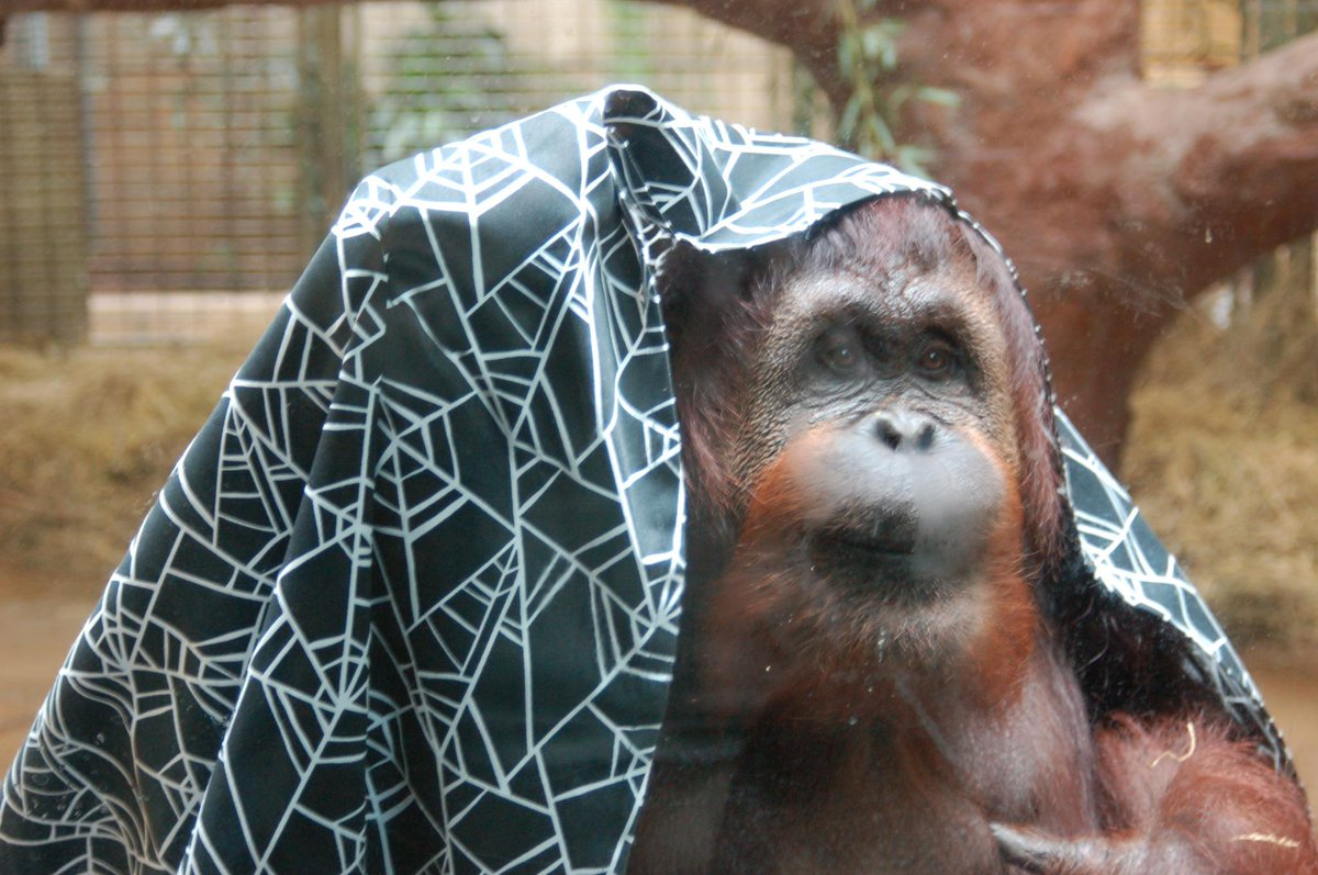national zoo on twitter lucy orangutan wraps a festive halloween zooenrichment sheetnest around herself shell use it to make a nest