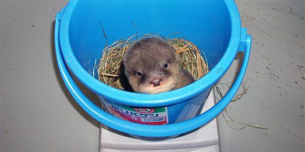 #計量記念日 コツメカワウソの子、体重測定。500g前後。多摩動物公園で以前生まれた個体です。 pic.twitter.com/8oFERBYApL