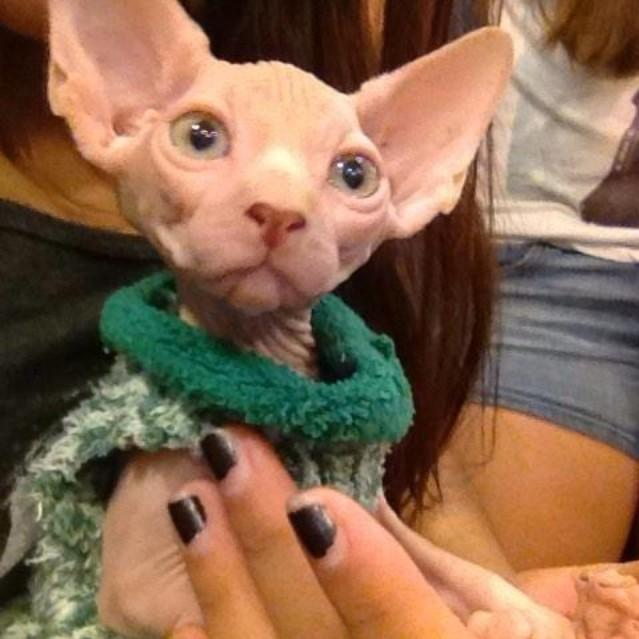 Hairless Cats On Twitter Hairless Cats In Sweaters Appreciation