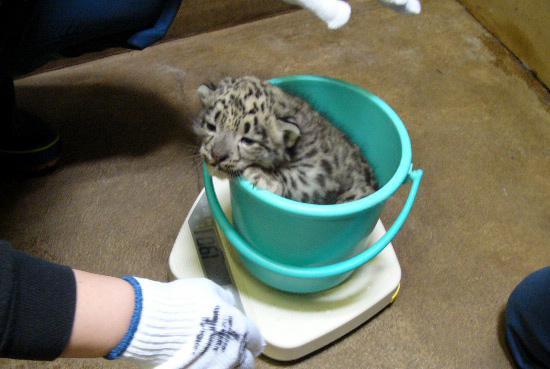 ユキヒョウも計りましょう。多摩動物公園で2008年に生まれた子。 #計量記念日 東京ズーネット2008年記事☞tokyo-zoo.net/topic/topics_d… pic.twitter.com/61riY538hG
