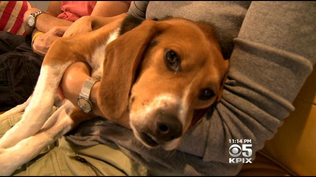 Group rescues beagles used in labs in the Bay Area, nation for chemical testing: http://t.co/8MBlMnrsAZ http://t.co/mzB9hVlIMO