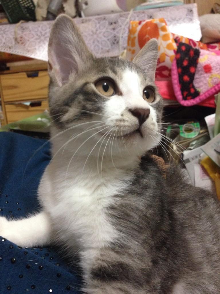 我が家では野良猫を10匹以上保護しておりまして、中には白血病の子がいます。これ以上は流石に家のスペースがないのと、猫達のストレスもあり飼えません、親と無理やり引き離され我が家の前に捨てられていた子です。里親になってください。 http://t.co/YzqzadLEws