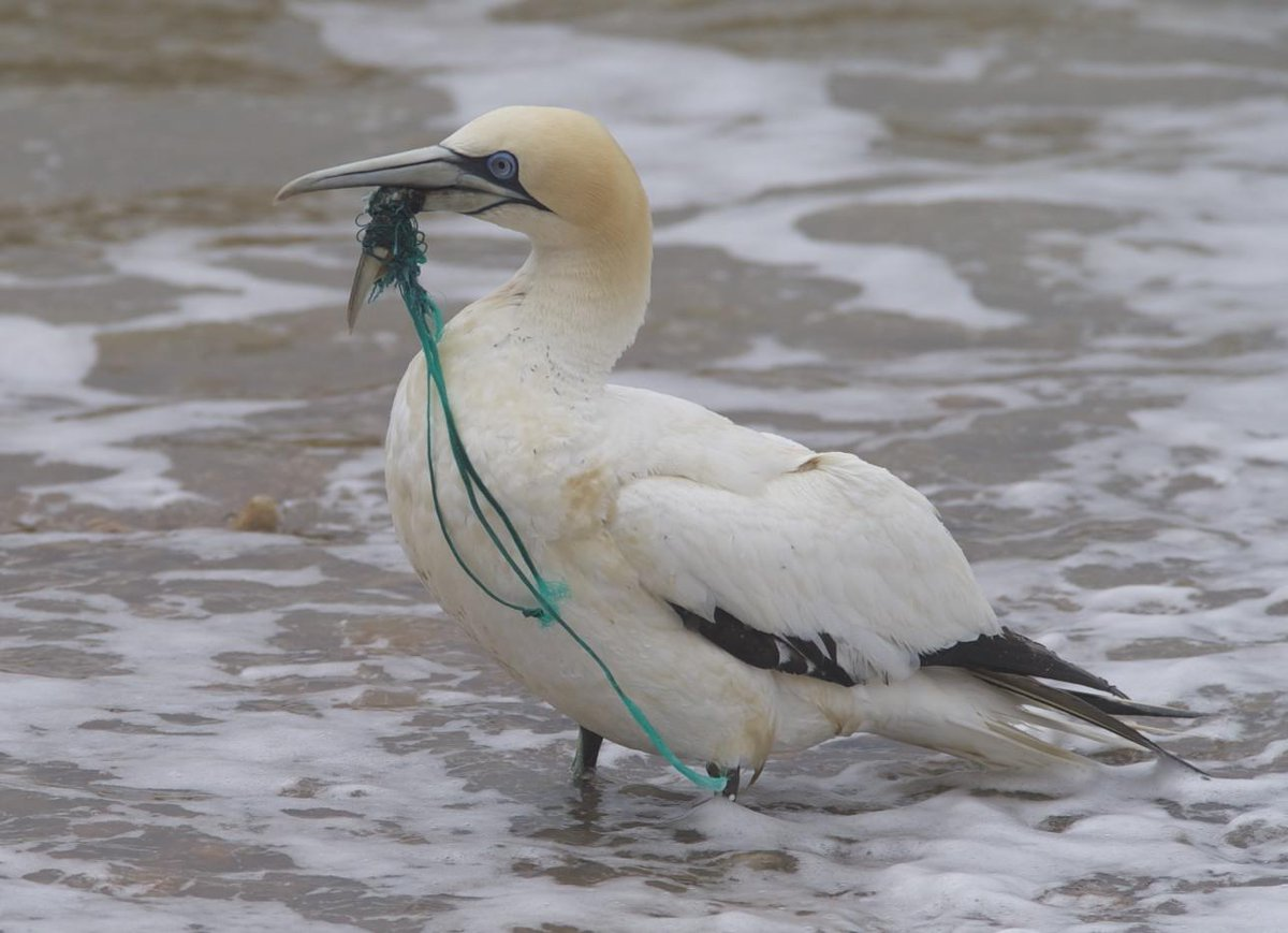 Watch @BBCSpringwatch gannet film? Here's a reminder from home in Kent of lethal fishing waste. Broken bill = death http://t.co/l5LljsahdG