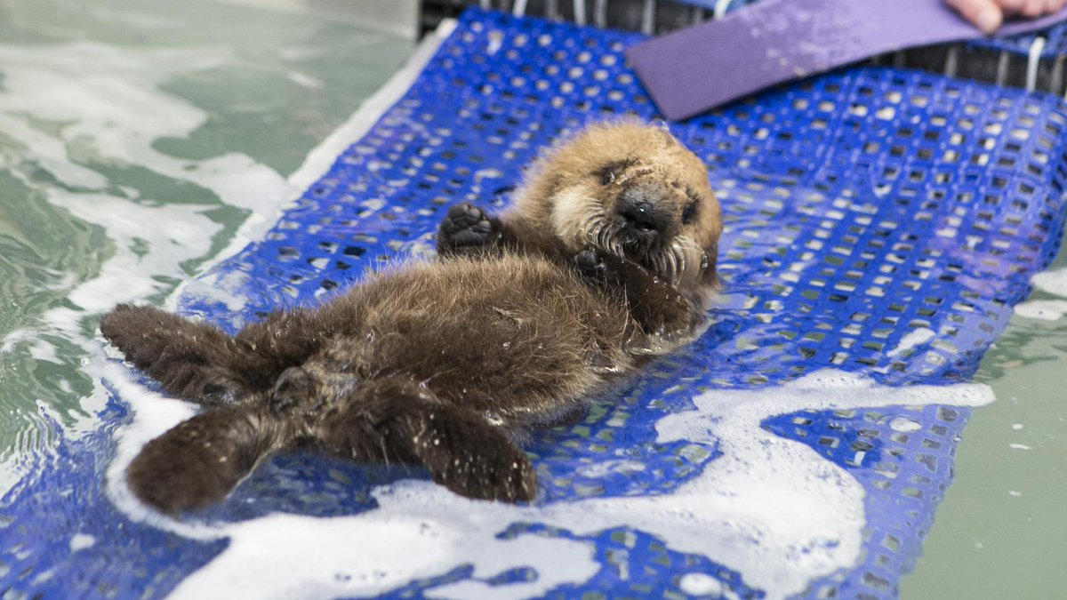 """So cute """"@mashable: Baby sea otter learning to swim is the real sports hero http://t.co/6lfDmtkOsD http://t.co/YWVZeGjT8K"""""""
