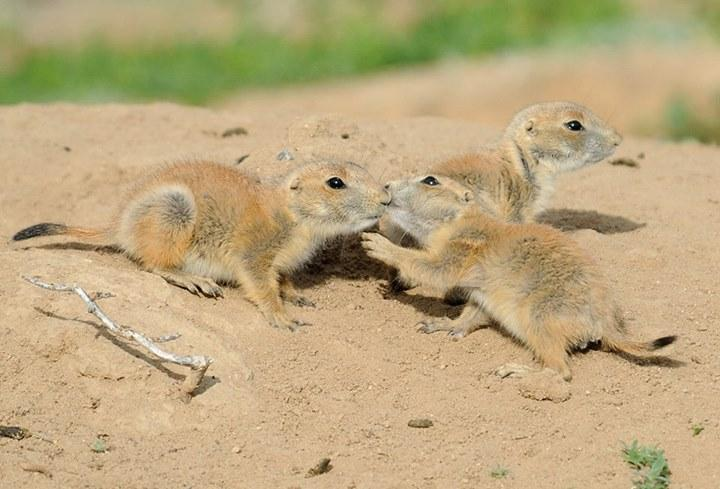 Us department of the interior on twitter dyk prairie dogs greet us department of the interior on twitter dyk prairie dogs greet each other with a kiss photo at rocky mountain arsenal wildliferefuge by rich keen m4hsunfo