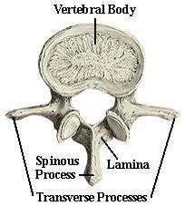Re: Cam Newton. This is where transverse processes sit on a vertebra (cross section). Attachment point for muscles. http://t.co/5TusoxahPI