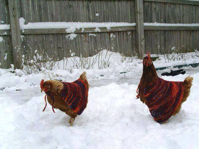 adorable! RT @uandiinthetrees: Chicken sweaters for the snow. #chickens #sweater #snow #farm #animal #love #cute http://t.co/Ee7s71fOin