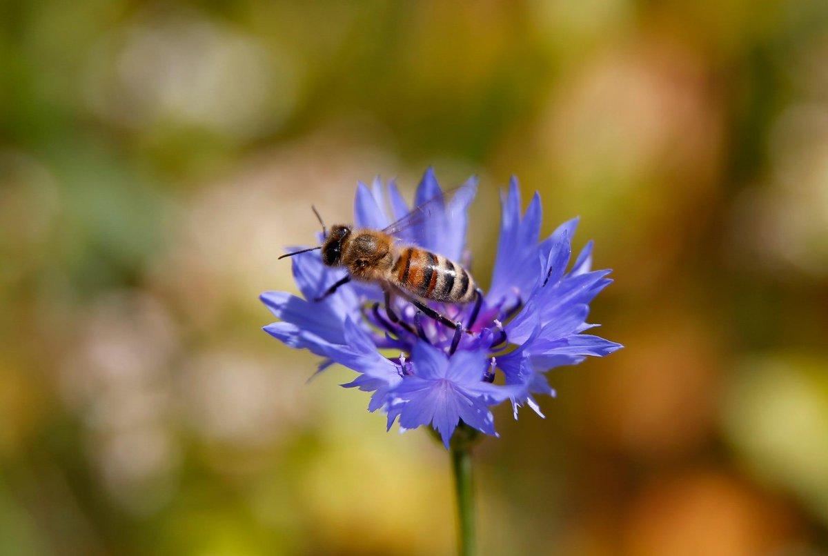 El caso de las abejas desaparecidas. - Página 2 B2E2cBwCEAAqCYe