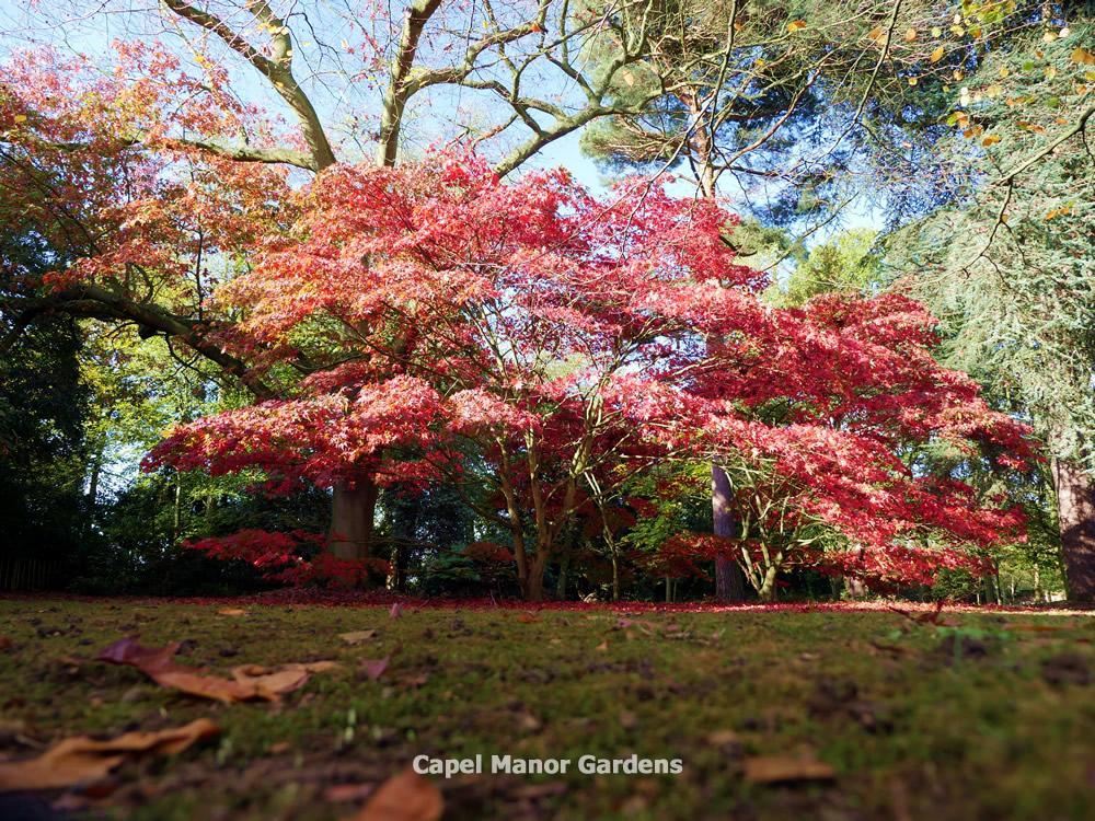 Capel Manor College On Twitter Japanese Maple Acer Palmatum