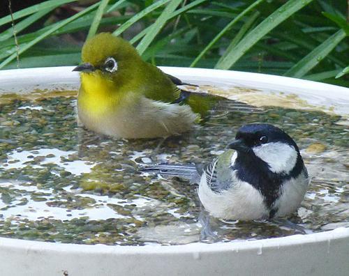 このコンビは無い!と、思っていましたが な・ん・と シジュウガラ君とメジロ君の混浴です。